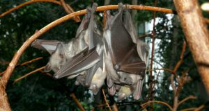 Straw-colored fruit bats, Eidolon helvum (shown), and other bat species may have carried Ebola virus from Central Africa to West Africa, where the virus is now causing the largest-ever epidemic of the disease. (Courtesy of Fritz Geller-Grimm/Released)