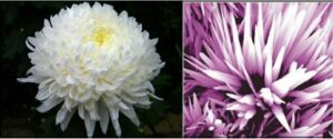 Figure 3: A white chrysanthemum (left) compared with a ZnO nanoflower developed by ultrasonication method (right). (Released)