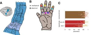 Figure 2: A. Organization of primary somatosensory cortex with the hand region highlighted. [adapted from Reference 19] B. Combination of skin locations at which pokes were delivered as well as receptive fields of electrodes through which stimulation was delivered. The lines link conditions that were paired in a trial. As can be seen, each electrode replaced a poke; that is, the receptive field of each stimulated electrode corresponded to one of the poke locations. C. Performance on mechanical and hybrid trials. Each dot represents a condition, bars represent the mean performance. [adapted from Reference 8] (Released)