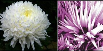 A white chrysanthemum (left) compared with a ZnO nanoflower developed by ultrasonication method (right). (Released)